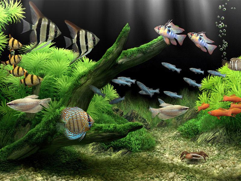живые обои для рабочего стола аквариум с плавающими рыбками
